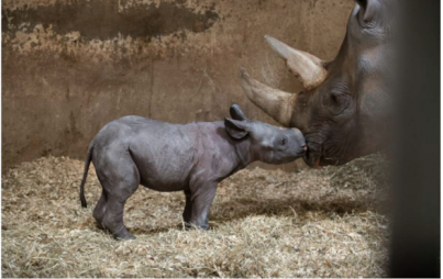 Oh yes, it's a baby rhino. You gotta feel some feels for this adorable little guy.