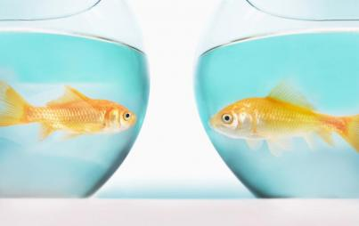 I went to the pet store, peered into some glass bowls, found a reasonable facsimile of the original fish, and voila: Boonga Two-nga. Image: Thinkstock.